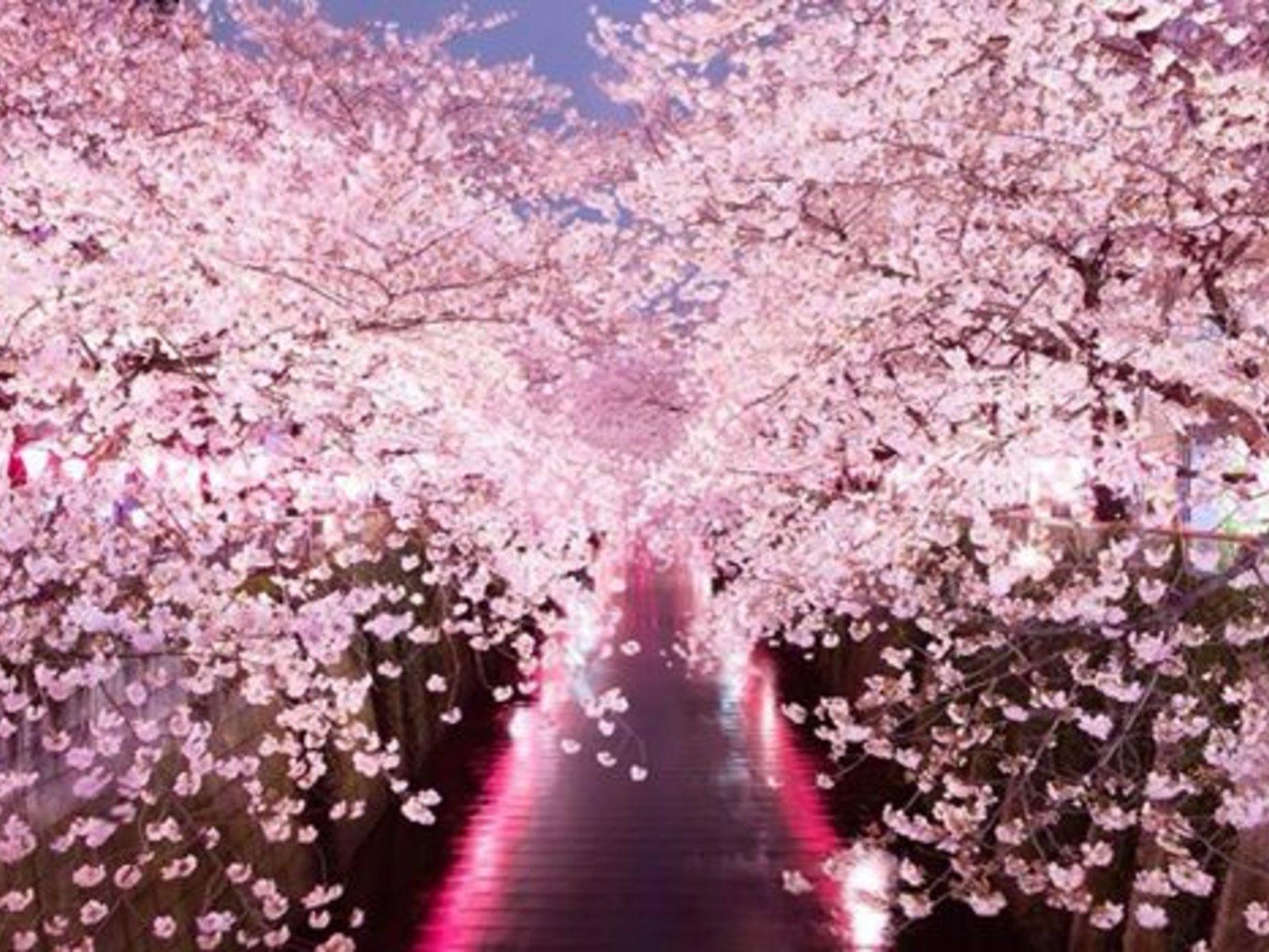 桜 綺麗 画像